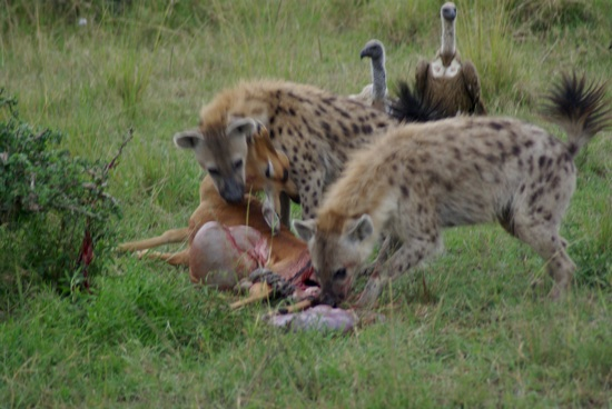 hyenas_at_stolen_impala_kill